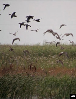 Ducks and other waterfowl have returned to the restored wetland