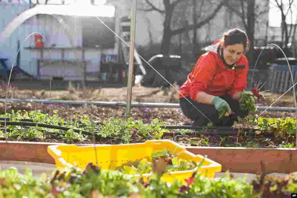 Nông trại nằm cạnh một cống dẫn nước và những đường rầy xe lửa. Tình nguyện viên Jill thu hoạch củ cải. (Alison Klein/VOA)