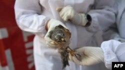 အိႏၵိယႏိုင္ငံ Ahmedabad ၿမိဳ႕မွာ ၾကက္ငွက္တုပ္ေကြး ျပန္႔ပြားမႈကို PPE ဝတ္စံုျပည့္ဝတ္ထားၿပီး ငွက္တေကာင္ကို စစ္ေဆးေနတဲ့ ျမင္ကြင္း။ (ဇန္နဝါရီ ၁၃၊ ၂၀၂၁)
