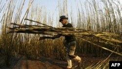 После нефти: биотопливо