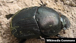 Dung Beetle (File photo)