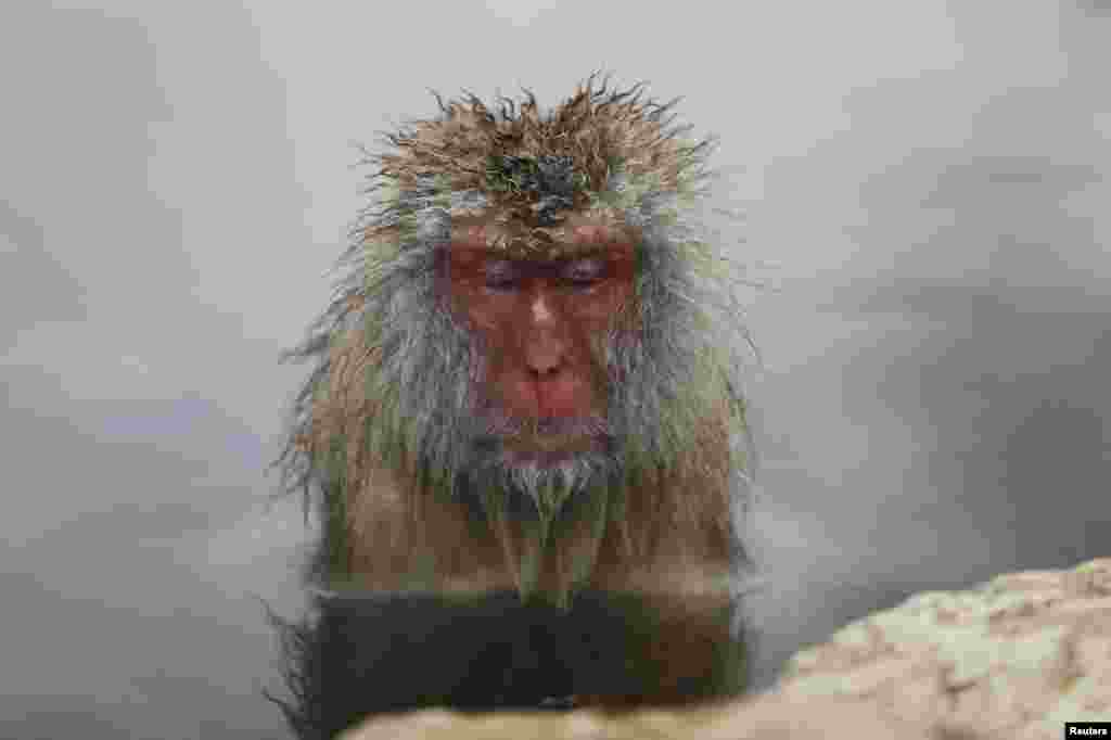 A Japanese Macaque (or Snow Monkey) soaks in a hot spring at a snow-covered valley in Yamanouchi town, central Japan.