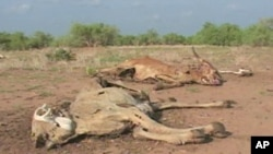 What once were emaciated, dehydrated cattle are now rotting corpses, victims of one of the worst droughts in the Garba Tulla area of Isiolo South
