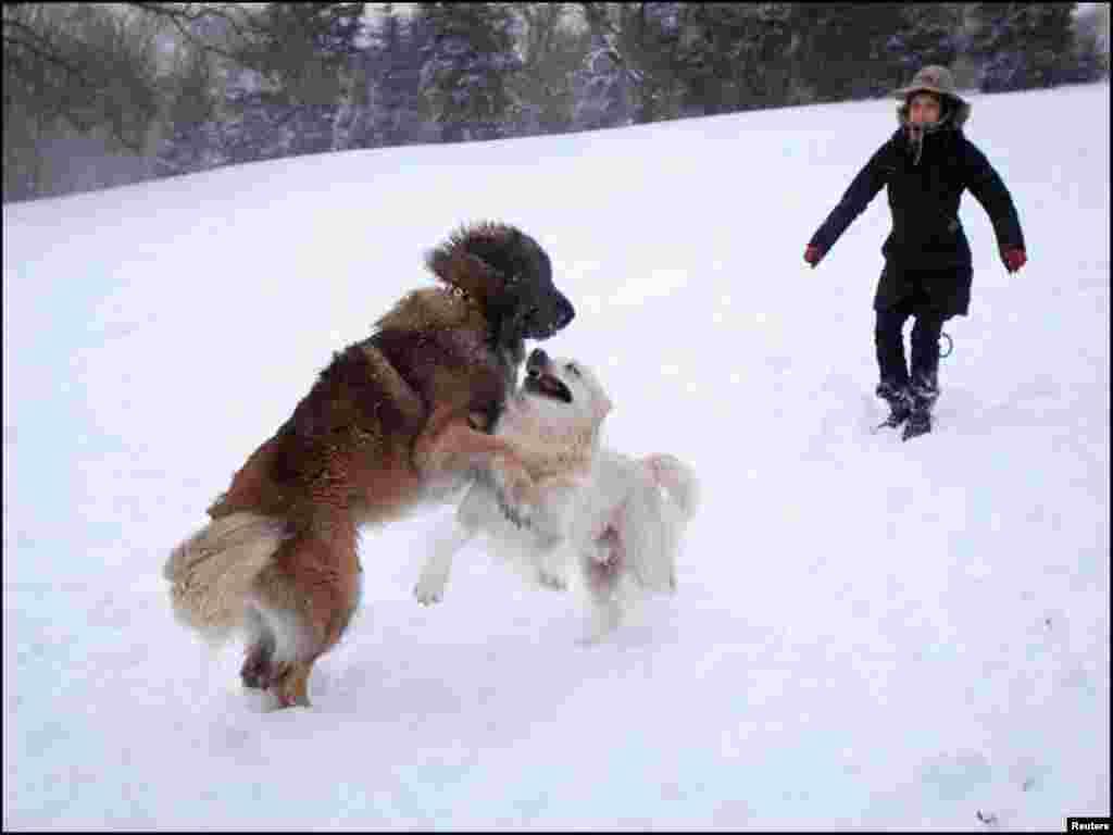 برفباری میں دو پالتو کتے آپس میں کھیل رہے ہیں