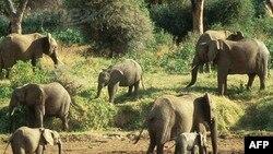 Şri-Lankada fillər siyahıya alınır