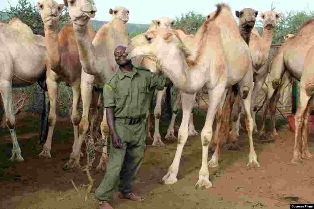 A camel gives the lead herder at Mpala, Stephen Moso, an affectionate nuzzle. (Sharon Deem, Saint Louis Zoo)