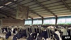 Chăn nuôi gia súc chiếm đến 30% đất đai không bị băng giá bao phủ trên địa cầu