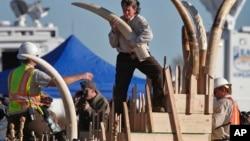 11月14日,美國魚類及野生動物管理局的官員抱著沒收的象牙走向岩石粉碎機,準備將其銷毀