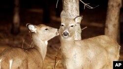 威斯康辛的白尾鹿(资料照)