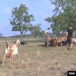 Lisa dan Christian Seger di peternakan kambing mereka, Blue Heron Farm di barat laut kota Houston, negara bagian Texas.
