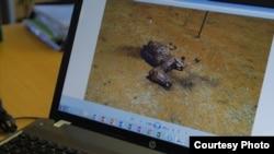 动物权利活动人士表示,这种情形已经严重上升到南非的驴子可能会在两年后消失殆尽。(美国之音卡西姆拍摄)
