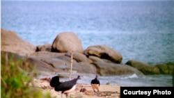 Burung maleo di pantai Tanjung Binerean, Sulawesi Utara. (Iwan Hunowu/Wildlife Conservation Society)