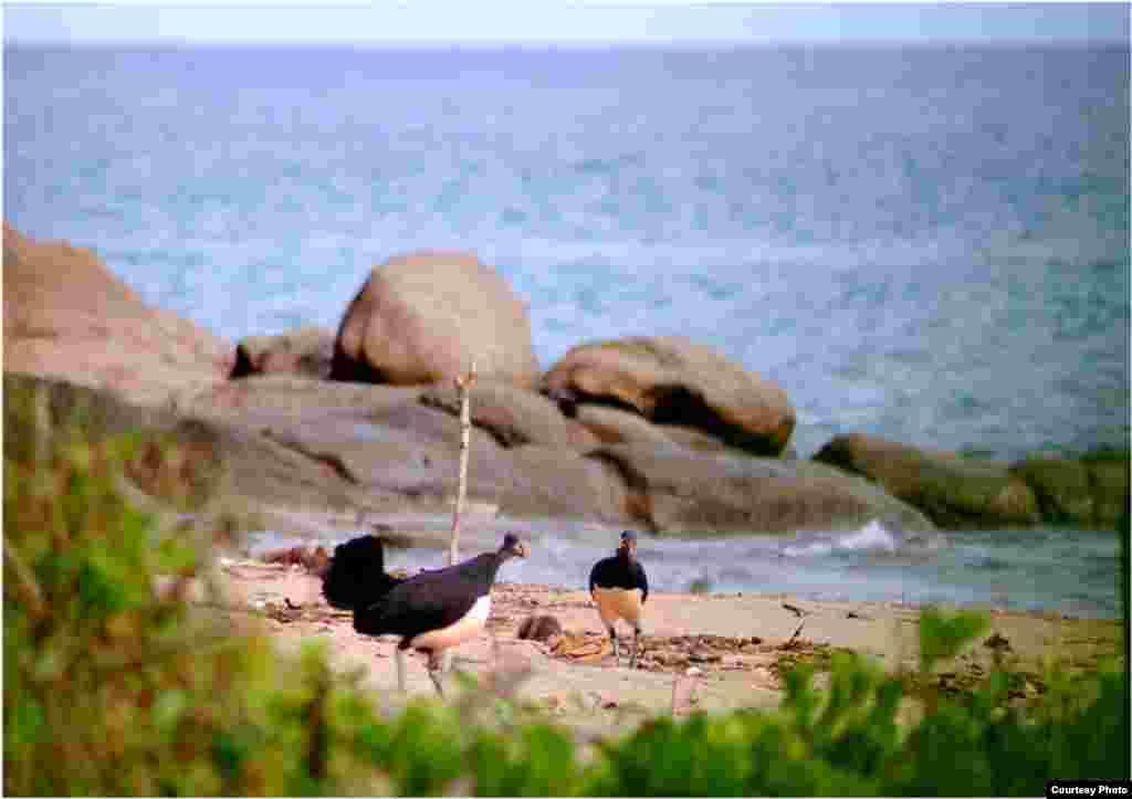 Burung maleo di Tanjung Binerean, Sulawesi Utara. (Iwan Hunowu/Wildlife Conservation Society)