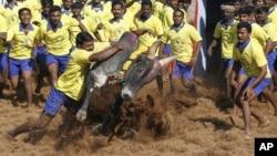 Jallikattu atau olahraga tradisional mengalahkan banteng liar, di Palamedu, India (foto: ilustrasi).