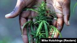 Une cultivatrice s'occupe de sa récolte d'environ 30 jeunes plantes de marijuana dans la région de Hhohho, au nord 'Eswatini, (ex-Swaziland), le 22 mai 2005.