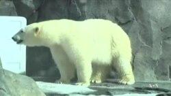 Спасти белых медведей