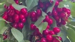 افزایش و تنوع محصولات گیلاس در افغانستان
