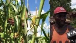 Fome ameaça comunidade de Chissua