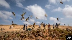 In this photo taken Wednesday, Feb. 5, 2020, young desert locusts that have not yet grown wings jump in the air as they are approached, as a visiting delegation from the Food and Agriculture Organization (FAO) observes them, in the desert near…