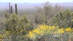 Life Blooms in Sonoran Desert