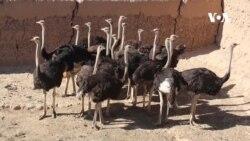 رونق فارم پرورش شترمرغ در هرات
