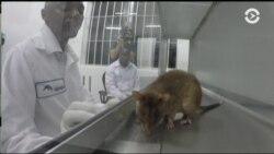 Борьба с туберкулезом и крысы