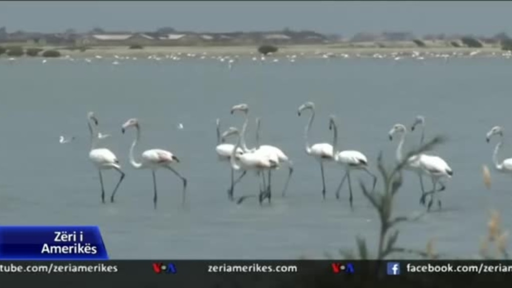 Flamingot qëndrojnë në Shqipëri