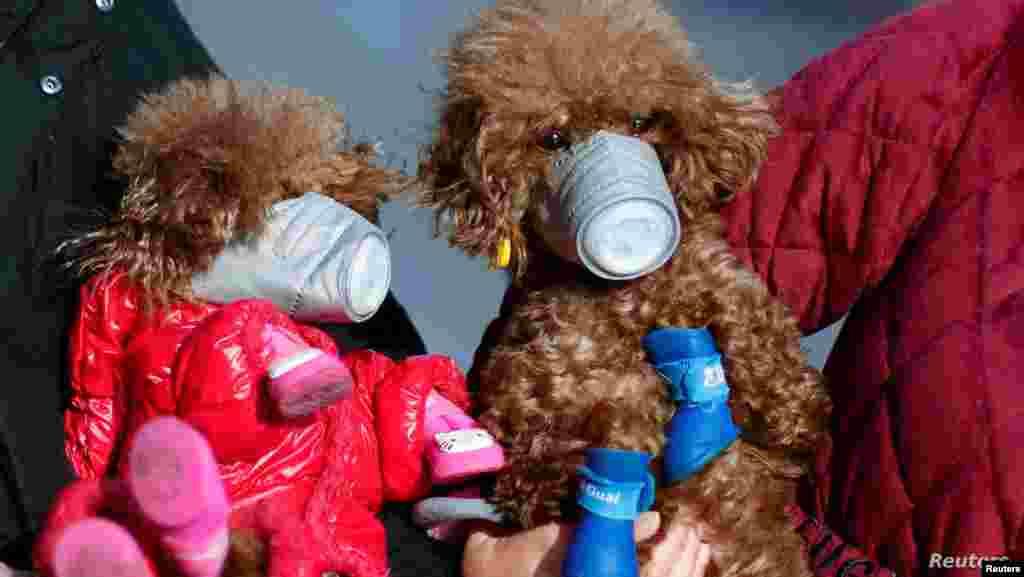 중국 상하이에서 반려견들이 마스크를 착용하고 있다. 중국에서 신종 코로나바이러스 감염 확진자가 급증한 가운데 사람뿐 아니라 반려동물을 위한 마스크 구매도 늘고 있다.