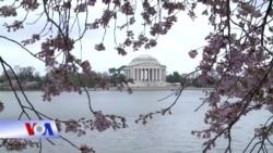 Mùa hoa anh đào vắng khách ở Thủ đô Washington vì dịch corona