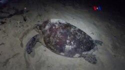 GPS para tortugas en peligro