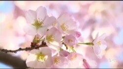 รวมบรรยากาศซากุระบานที่กรุงวอชิงตัน Cherry Blossoms 2014