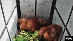 Dua anakan orangutan Sumatera yang berhasil diselamatkan saat berada di kantor Balai Besar Taman Nasional Gunung Leuser di Kota Medan, Jumat 10 Januari 2020. (VOA/Anugrah Andriansyah).