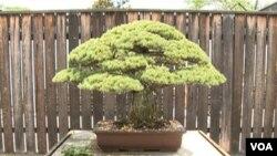 El curador dijo que el Bonsai llegó a Estados Unidos en 1976 para celebrar el bicentenario del país.
