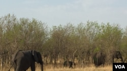 An elephant herd browses inside the Chobe National Park, northern Botswana. (Mqondisi Dube/VOA)