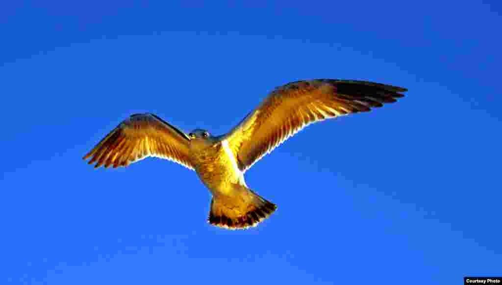 A sea gull flies over Capitol Hill's Southwest duck pond in Washington, D.C. (Diaa Bekheet/VOA)