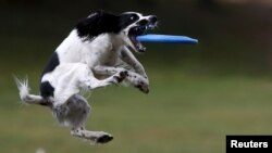 A dog catches a frisbee during a dog frisbee competition in Moscow, September 13, 2015.