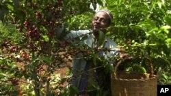 FILE - An Ethiopian coffee farmer picks coffee in his farm Choche, near Jimma, 375 kilometers ( 234 miles) southwest of Addis Ababa, Sept. 21 2002.