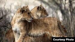 West African lions (Philipp Henschel / Panthera)