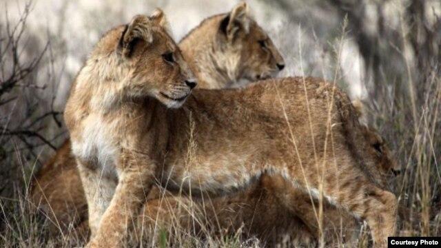 West African lions (Philipp Henschel/Panthera)