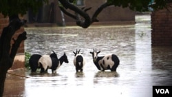Some of the goats that were left stranded in flooded waters as owners saved their own lives at Makanga Area in Southern Malawi. (Lameck Masina for VOA News)