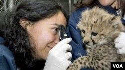 Gepardu je potrebna velika pomoć da opstane