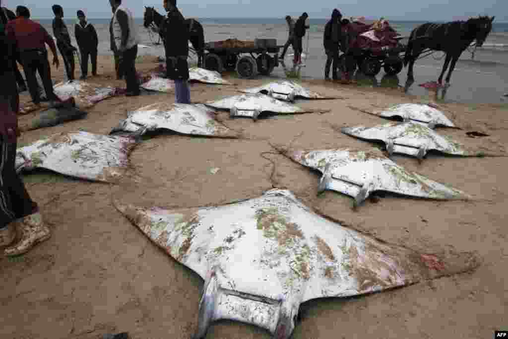 Ngư dân Palestine bỗng dưng thu hoạch được mẻ cá đuối dạt vào bờ ở Gaza City.