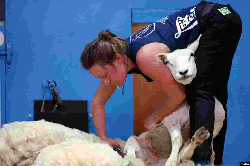 A sheep shearer participates in the blade category of the World Sheep Shearing and Woolhandling Championships in Le Dorat, France.