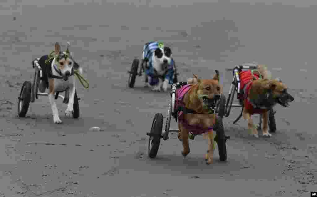 Beberapa anjing penyandang difabel yang diberi kursi roda berlarian di pantai Agua Dulce, distrik Chorrillos, Lima, Peru.