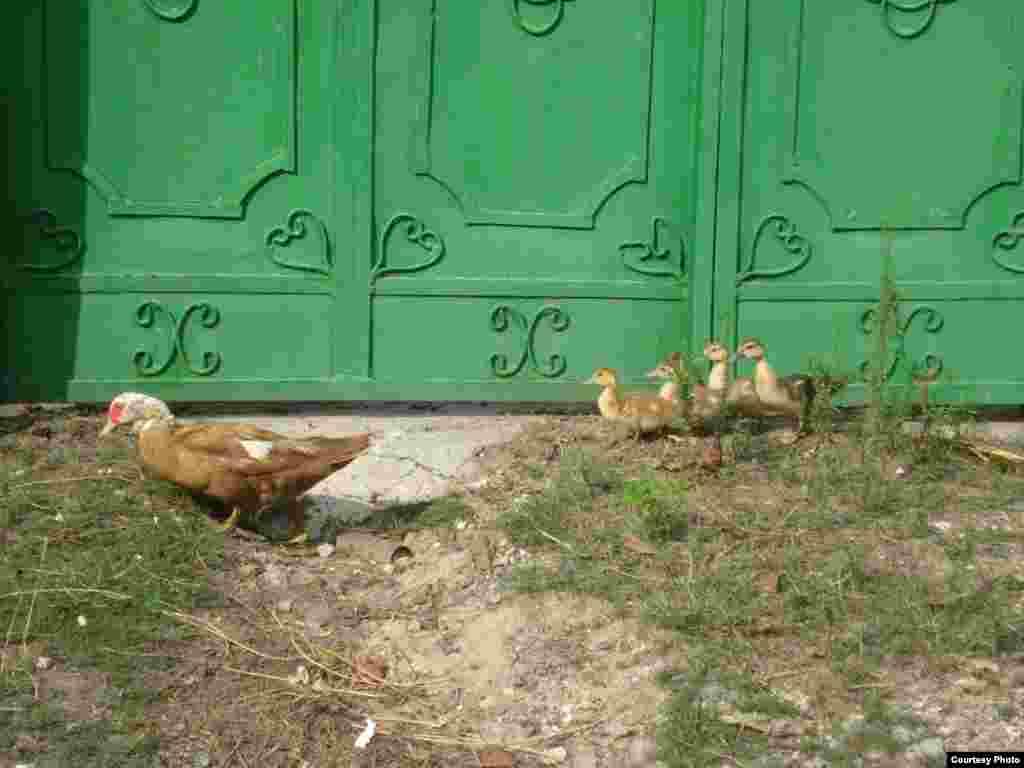 215580 - Ducks following their mother