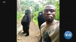"Les gorilles aiment ""imiter les gens"""