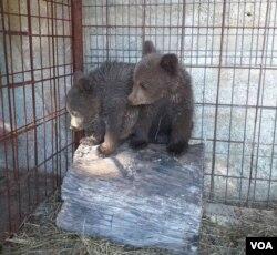 Mladunci uginule ženke smeđeg medvjeda su smješteni u zoo vrt Bingo u Tuzli u skladu s rješenjima nadležnih institucija.