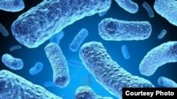 FILE - Multi-drug-resistant tuberculosis bacteria. (U.S. Centers for Disease Control and Prevention)
