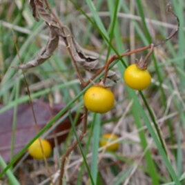 The yellow fruit of the horse nettle looks like small tomatoes, but is highly poisonous. Even animals stay away from this plant.
