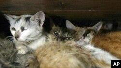 پشک های وحشی که جهت شکار موشها استخدام شده اند.